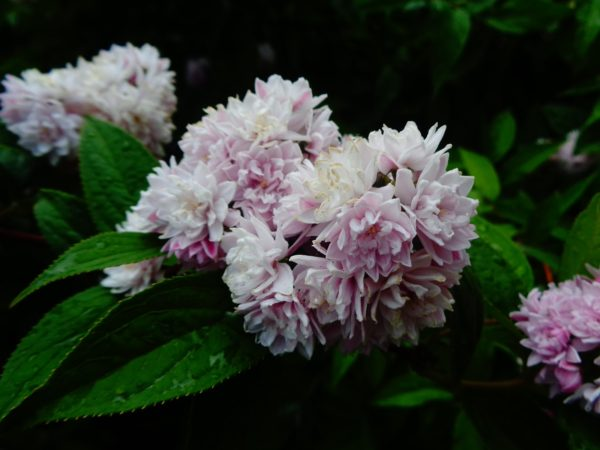 Дейция гибридная Deutzia x hybrida Pink Pom-Pom