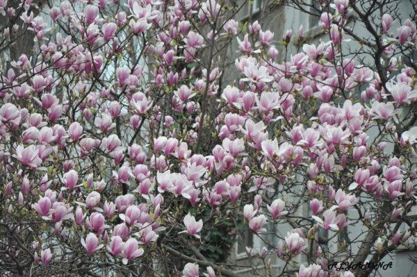 Магнолия Magnolia x soulangeana Alexandrina
