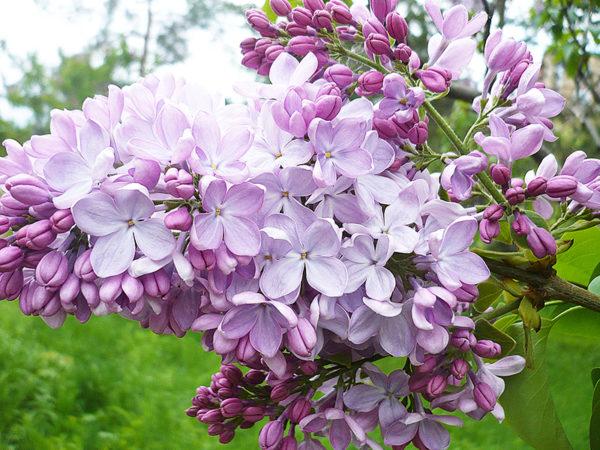 Сирень сортовая в ассортименте (Syringa vulgaris)