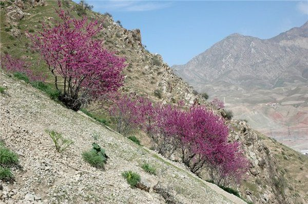 Сирень афганская Syringa awganica