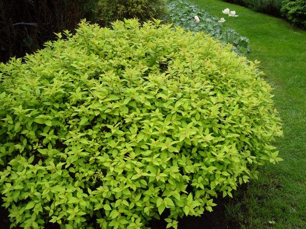 Спирея японская Spiraea japonica Goldmound