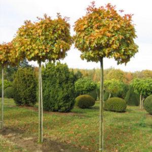 Дуб черешчатый Ауреамаргината Quercus robur Aureomarginata