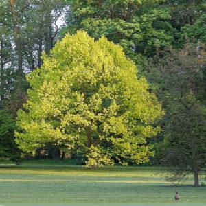 Дуб краный Ауреа Quercus rubra Aurea