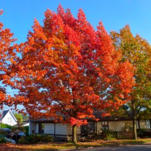 Дуб черешчатый Фастигиата Quercus robur Fastigiata 12/14