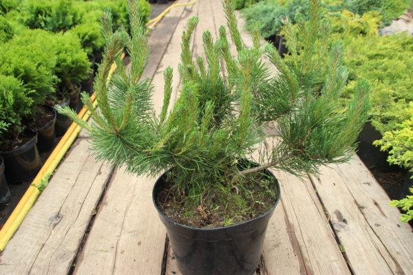 Сосна горная  Pinus mugo