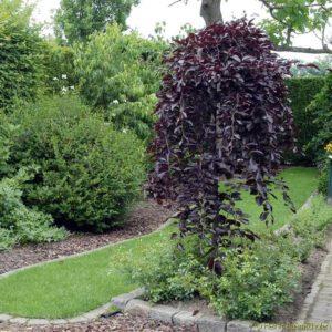 Береза повислая Пурпуреа Betula pendula Purpurea