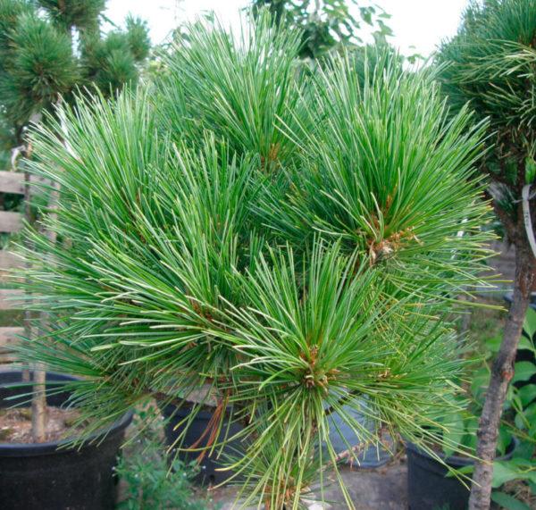 Кедр сибирский Pinus sibirica