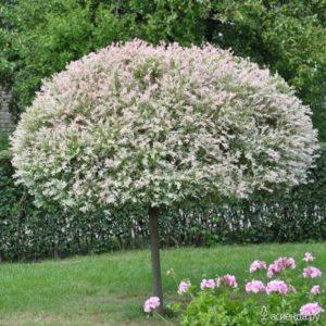 Ива Salix integra Hakuro-Nishiki