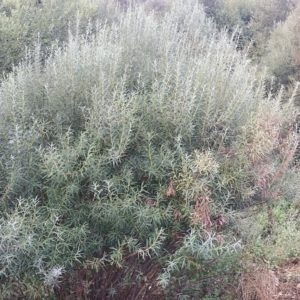 Ива пурпурная Salix purpurea Canion Blue