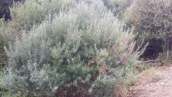 Ива пурпурная Salix purpurea Canion Blue