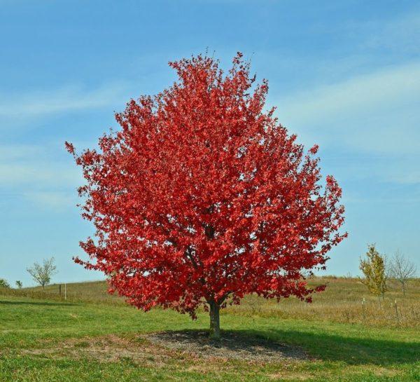 """Клен красный Acer rubrum в ассортименте (""""Brandywine"""", """"October Glory"""", """"Red Sunset"""")"""