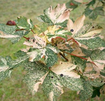 Клен ложноплатановый Низетти Acer pseudoplanus Nizetti