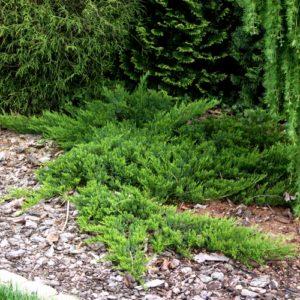 Можжевельник казацкий Juniperus sabina Broadmoor