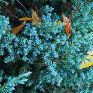 Можжевельник китайский Блю Альпс Juniperus chinensis Blue Alps