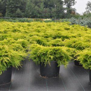 Можжевельник Пфитцериана Олд Голд Juniperus Pfitzeriana Compacta