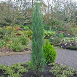 Можжевельник скальный Juniperus copulorum Blue Arrow, Skyroket