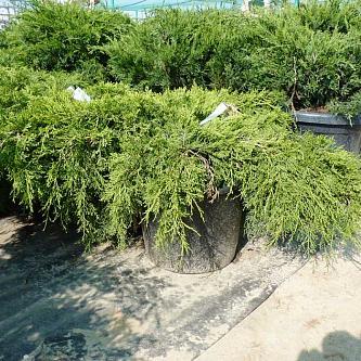 Можжевельник Пфитцериана Juniperus x pfitzeriana Old Gold