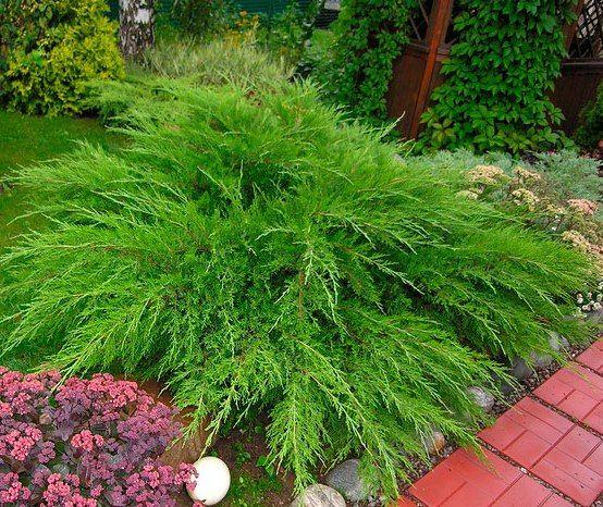 Можжевельник средний Милт Джулеп Juniperus media Mint Julep