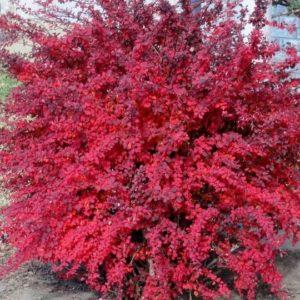 Дуб болотный Компакта Quercus palustris Compacta